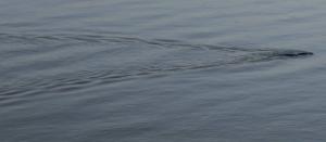 Mystery Lake Creature